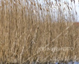 Bittern in the reeds