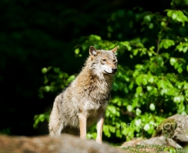 Wolf in the forest in Bavaria, Germany.