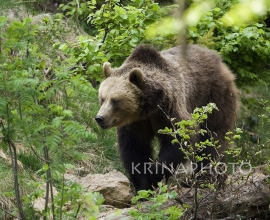 Brown bear in the forest in Bavaria, Germany.