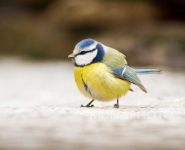 Blue tit in Ungary