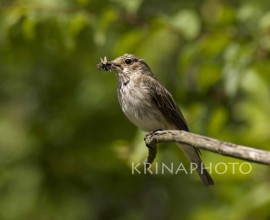 Flycatcher with insect in Lithuania