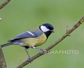 Great tit in my garden