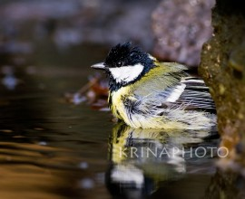 Great tit in the pond
