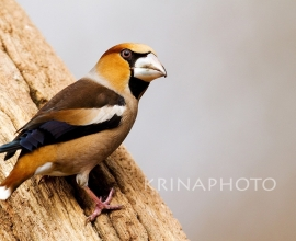 Hawfinch in Ungary.