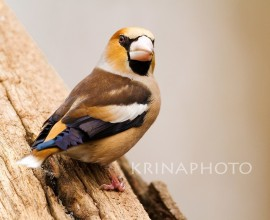 Hawfinch in the National Park of Hortobagy in Hungary.