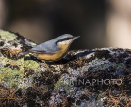 Nuthatch in the forest in Switzerland