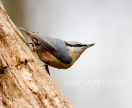 Nuthatch in forest in Ungary