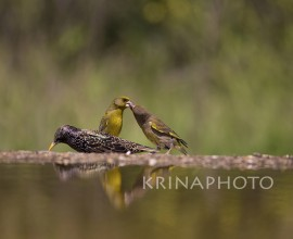 Starling and greenfinch