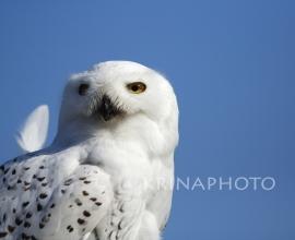 Snovy owl